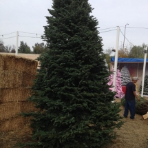 christmas-trees-3
