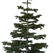 christmas-trees-6